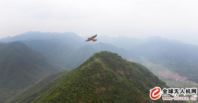 无人机航拍遭遇老鹰袭击