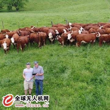 父子用无人机牧牛