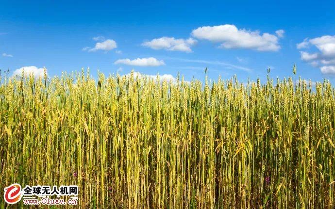 冬小麦除草什么时间最好?植保无人机怎么打效果好?