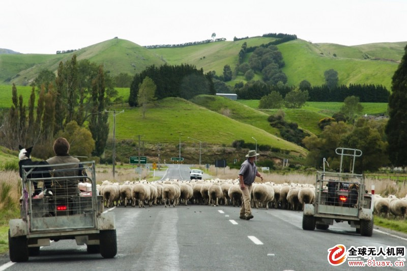 无人机助新西兰农民放牧 既省时又可定位羊群