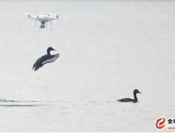 无人机拍鸟屡禁不止,专家:干扰鸟类正常栖息应增设举报渠道