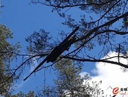失控的无人机安全降落在树上
